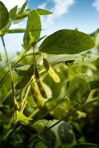 A photo of soybeans